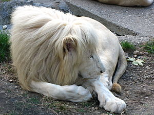 White lion - In Belgrade Zoo, Serbia