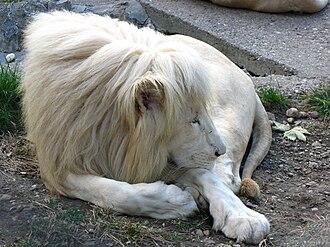 White lion - Image: Beli lav Belgrade zoo