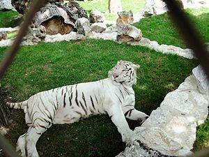 """Belgrade Zoo - """"Khan"""" a male white tiger"""