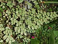 Bermuda Maidenhair Fern-00.JPG