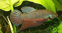 Betta smaragdina male1.jpg