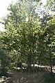 Betula platyphylla Whitespire 4zz.jpg