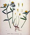 Bidens cernua — Flora Batava — Volume v20.jpg