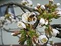 Biene in der Kirschblüte.jpg