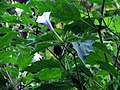 Big Patch of Jimson Weed (29032510852).jpg