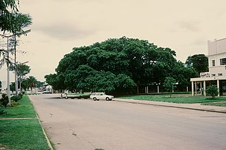Kabwe - The Big Tree National Monument cape fig tree is a prominent feature in downtown Kabwe, Zambia.
