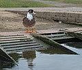 Big bird in Maastricht (DSCF7932).jpg