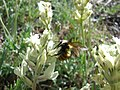 Bighorn Mountains Bumblebee.jpg