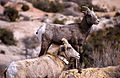 Bighorn Sheep, with Radio Collar (6549995851).jpg