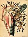 Billbergia vittata Paxton 077.jpg