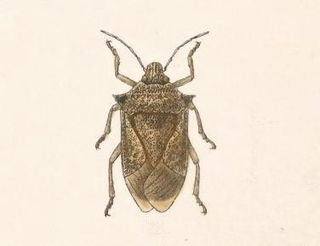 <i>Podisus sagitta</i> species of insect