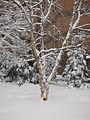 Birch (4336406416).jpg