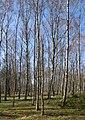 Birch forest Gullmarsskogen 5.jpg