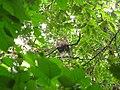 Bird White throated Brown Hornbill Anorrhinus austeni IMG 8142 14.jpg