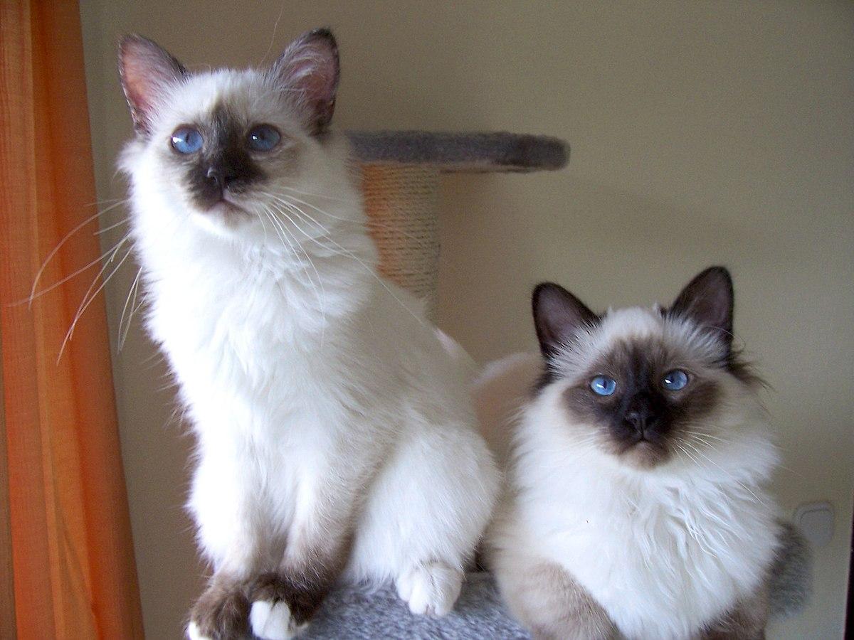 Wikipedia Katzen