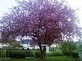 Blühender Baum in Derental.jpg