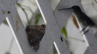File:Black-chinned hummingbird at its nest.webm