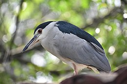 Black-crowned Night Heron -- Nycticorax nycticorax.jpg