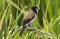 Black-faced Munia - Sulawesi MG 5777 (22799479470) (cropped2).jpg