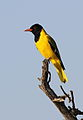 Black-headed oriole, Oriolus larvatus, at Mapungubwe National Park, Limpopo, South Africa (18201359415).jpg