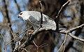 Black-winged kite, Elanus caeruleus, at Rietvlei Nature Reserve, Gauteng, South Africa (19973547566).jpg