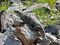 Black Iguana (Ctenosaura similis) female (6789417953).jpg