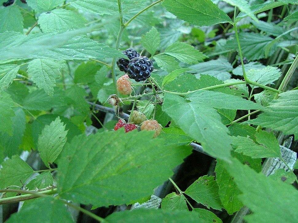 Black Raspberries, Underhill