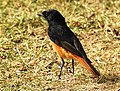 Black Redstart Phoenicurus ochruros Male by Dr. Raju Kasambe DSCN1622 (9).jpg