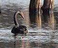 Black Swan - DSC 0878 (31908565284).jpg