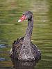Black Swan at Martin Mere.JPG