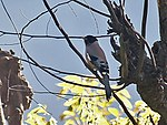 Black headed Jay I3w IMG 3226.jpg