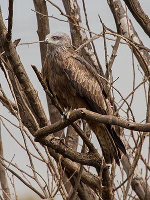 Kite (bird) - Black kite  (Milvus migrans)