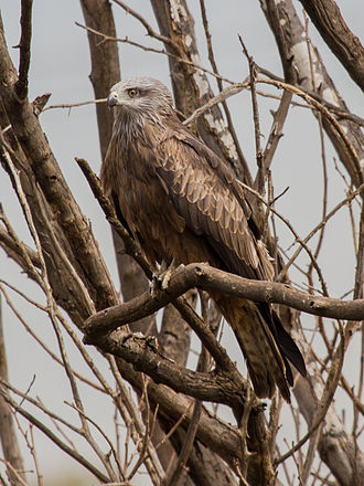 Kite (bird) - Black kite  (Milvus migrans)