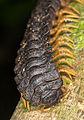 Black polydesmida Ecuador 05.jpg