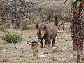 Black rhino in Mkhuze Africa.jpg