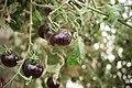Black tomatoes and red chilis grown in Koye, in the Kurdistan Region of Iraq 10.jpg