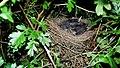 Blackbird Nest 10-07-09 (4485496924).jpg