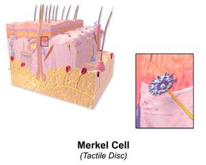 Merkel cell - Merkel cell.