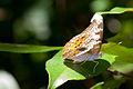 Blue-brown butterfly (5549413922).jpg