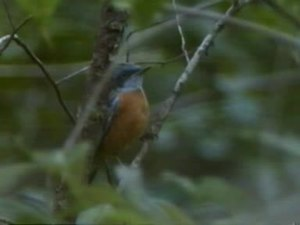 Dosiero:Blue-capped Rock Thrush.ogv
