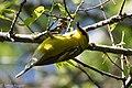 Blue-winged Warbler (male) Sabine Woods TX 2018-04-22 14-35-41 (41947591712).jpg