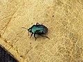 Blue Bug (Zicrona caerulea) - geograph.org.uk - 996391.jpg
