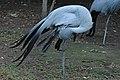 Blue Crane - Żuraw Rajski.jpg
