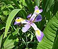 Blue Flag, Virginia Iris, Shreve's Iris (Iris virginica) - Flickr - Jay Sturner.jpg