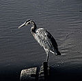 Blue Heron in BW (11967516814).jpg