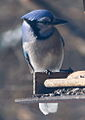 Blue Jay at Ojibway Park.JPG