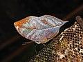 Blue Oakleaf Kallima horsfieldii By Dr. Raju Kasambe DSCN1683 (8).jpg