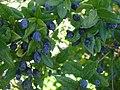 Blue myrtle berries sardinia.JPG