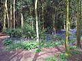 Bluebells (Hyacinthoides non-scripta), Wellfield Wood, Stevenage (27404790600).jpg