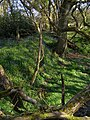 Bluebells south of the Corfe River - geograph.org.uk - 769229.jpg